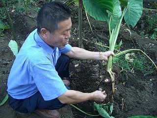 三崎八百辰・朝採り野菜のパワー・キャベツ名人、堆肥、石川小芋